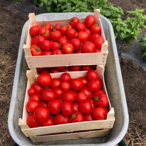 Tomate (rosii)